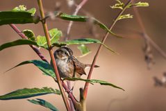 White-Crowned Sparrow Perched in a Bush Stock Image