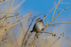 White Crowned Sparrow Perched Royalty Free Stock Images