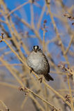 White Crowned sparrow Stock Photography
