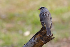 White-crowned Sparrow perched on a dead branch Royalty Free Stock Image