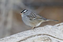 White-crowned Sparrow perched on a log - New Mexico. White-crowned Sparrow Zonotrichia leucophrys perched on a log - Bosque del Apache National Wildlife Refuge royalty free stock image