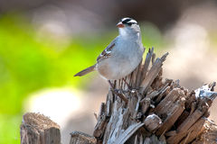 White-crowned Sparrow Royalty Free Stock Images