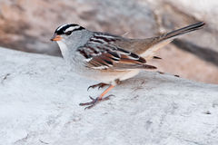 White-crowned Sparrow Royalty Free Stock Photos