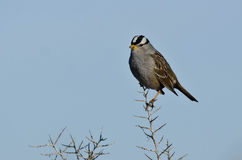 White-Crowned Sparrow Perched on the Tip of a Branch Stock Images