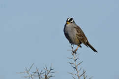 White-Crowned Sparrow Perched on the Tip of a Branch Stock Photo