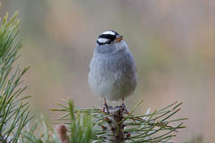 White Crowned Sparrow Royalty Free Stock Photography