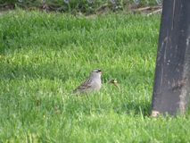 White Crowned Sparrow. Pecking at a dandelion Stock Photography