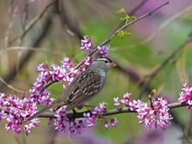 White Crowned Sparrow and Redbud Tree. A white crowned sparrow perched on the pink buds of a redbud tree Royalty Free Stock Photos