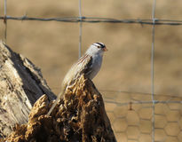 White-Crowned Sparrow in rural America Stock Images