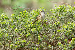 White crowned sparrow sitting in the bushes Royalty Free Stock Photography