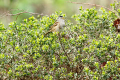 White crowned sparrow sitting in the bushes Royalty Free Stock Photos