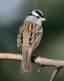 White Crowned Sparrow. Small bird perched on a branch with a nice background Stock Photography