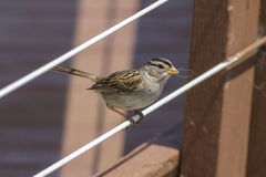 White crowned sparrow. Stock Photography