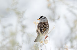 White Crowned Sparrow Stock Images