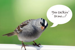 White-crowned sparrow with speech bubble Stock Photo