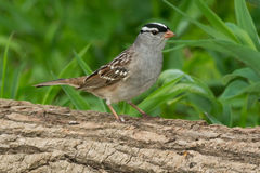 White-crowned Sparrow Stock Photos