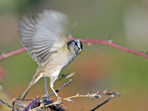 White Crowned Sparrow taking off Royalty Free Stock Photos