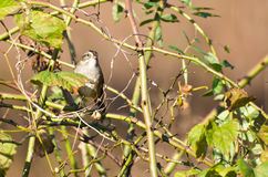 White-Crowned Sparrow Among the Thorns Stock Images