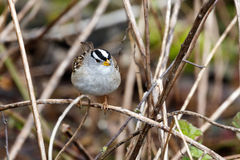 White crowned sparrow. At Vancouver BC Canada Stock Image