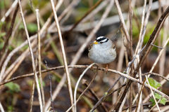 White crowned sparrow. At Vancouver BC Canada Royalty Free Stock Photo