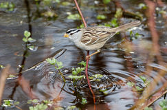 White crowned sparrow. At Vancouver BC Canada Royalty Free Stock Photos