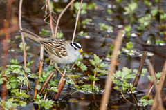 White crowned sparrow. At Vancouver BC Canada Royalty Free Stock Image