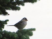 White Crowned Sparrow with white background Stock Images