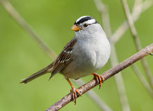 White Crowned Sparrow. A wild White Crowned Sparrow perched on a tree branch royalty free stock image