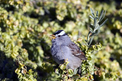 White-crowned Sparrow, Zonotrichia leucophrys Stock Photography