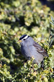White-crowned Sparrow, Zonotrichia leucophrys Royalty Free Stock Photos
