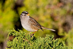 White-crowned Sparrow (Zonotrichia leucophrys). Adult male white-crowned sparrow perched on green shrub Royalty Free Stock Photos