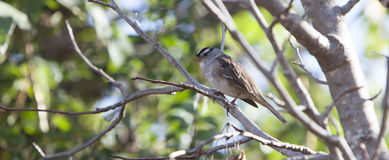 White Crowned Sparrow Zonotrichia leucophrys Royalty Free Stock Photos