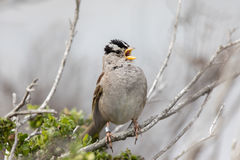 White-crowned Sparrow Zonotrichia leucophrys Adult  whistling. Stock Photography