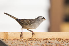 White-crowned sparrow (Zonotrichia leucophrys) Stock Images