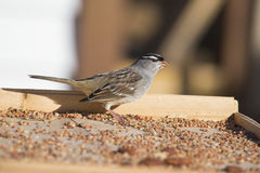 White-crowned sparrow (Zonotrichia leucophrys) Stock Photography