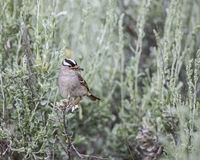 White-crowned Sparrow Zonotrichia leucophrys. With the black and white head enjoys an insect in its beak caught in flight high in the mountains Stock Image