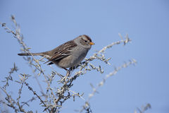 White-crowned sparrow, Zonotrichia leucophrys. Female on branch Royalty Free Stock Photography
