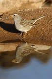 White-crowned sparrow, Zonotrichia leucophrys. Female on ground Stock Photos