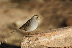 White-crowned sparrow, Zonotrichia leucophrys. Female on rock Stock Photography