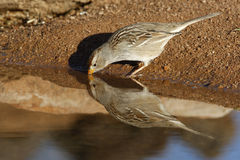 White-crowned sparrow, Zonotrichia leucophrys. Female at water Royalty Free Stock Photos