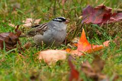 White-crowned Sparrow - Zonotrichia leucophrys royalty free stock photos