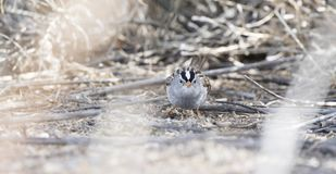 White-crowned Sparrow Zonotrichia leucophrys on the Ground. In a Wooded Area in Colorado During Winter Stock Photos