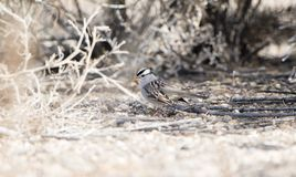 White-crowned Sparrow Zonotrichia leucophrys on the Ground. In a Wooded Area in Colorado During Winter Royalty Free Stock Photo