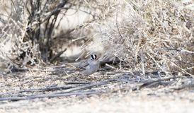 White-crowned Sparrow Zonotrichia leucophrys on the Ground. In a Wooded Area in Colorado During Winter Royalty Free Stock Images