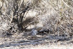 White-crowned Sparrow Zonotrichia leucophrys on the Ground. In a Wooded Area in Colorado During Winter Royalty Free Stock Photos
