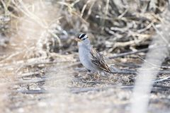 White-crowned Sparrow Zonotrichia leucophrys on the Ground. In a Wooded Area in Colorado During Winter Royalty Free Stock Photography