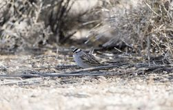 White-crowned Sparrow Zonotrichia leucophrys on the Ground. In a Wooded Area in Colorado During Winter Royalty Free Stock Image