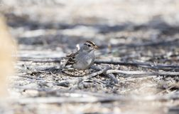 White-crowned Sparrow Zonotrichia leucophrys on the Ground. In a Wooded Area in Colorado During Winter Stock Images