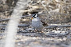 White-crowned Sparrow Zonotrichia leucophrys on the Ground. In a Wooded Area in Colorado During Winter Stock Photo