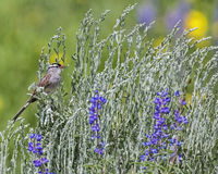 White-crowned Sparrow Zonotrichia leucophrys. White crowned Sparrow Zonotrichia leucophrys with the black and white head lands in the wildflowers and sagebrush Royalty Free Stock Photography